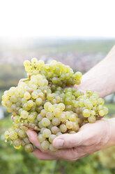 Germany, Bavaria, Volkach, green grapes in hand - FKF000800