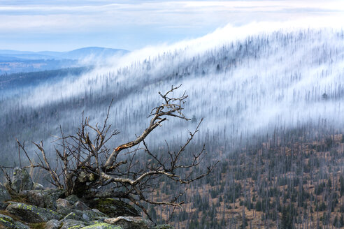 Germany, Bavaria, Lusen, Bavarian Forest National Park, Forest dieback and fog - STSF000582