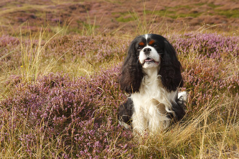 Cavalier King Charles Spaniel sitting on a meadow - HTF000528