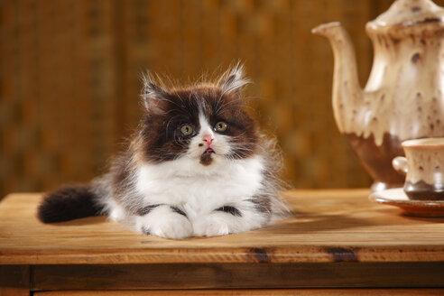 British Longhair kitten lying on wooden table - HTF000531