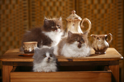 Three British Longhair kittens on wooden table - HTF000533