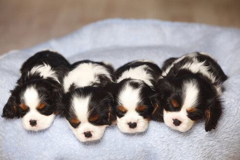 Row of four sleeping Cavalier King Charles Spaniel puppies on a blanket - HTF000525