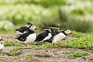 United Kingdom, England, Northumberland, Farne Islands, Atlantic puffins, Fratercula arctica - SRF000836