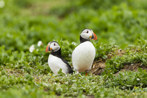 United Kingdom, England, Northumberland, Farne Islands, Atlantic puffins, Fratercula arctica - SRF000837