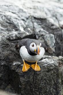 United Kingdom, England, Northumberland, Farne Islands, Atlantic puffin, Fratercula arctica - SRF000841