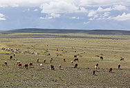 Turkey, Kars Province, view to herd of cows at highland - SIEF006249