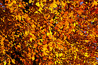 Germany, Beech tree in autumn - JTF000591