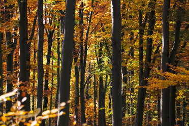 Germany, Saxony, Forest in autum - JTF000595