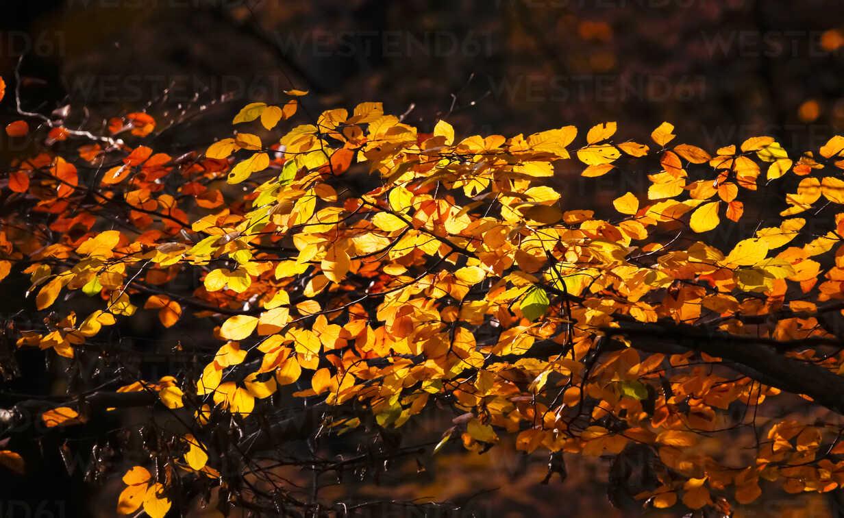 Germany, Saxony, autum leaves - JTF000597 - Thomas Jäger/Westend61