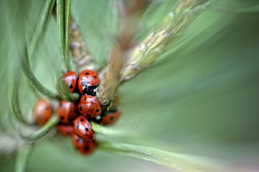 Seven-spotted ladybirds, Coccinella septempunctata, on a twig - MJOF000875