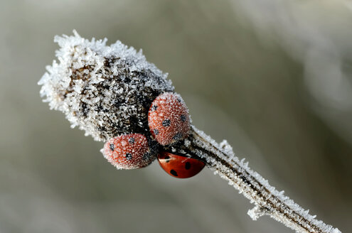 Three seven-spotted ladybirds, Coccinella septempunctata, on a twig covered with frost - MJOF000883