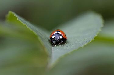 Seven-spotted ladybird, Coccinella septempunctata, on a leaf - MJOF000881