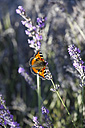 Lavender with butterfly - JTF000605