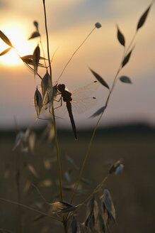 Dragonfly sitting on oat at sundown - AXF000728