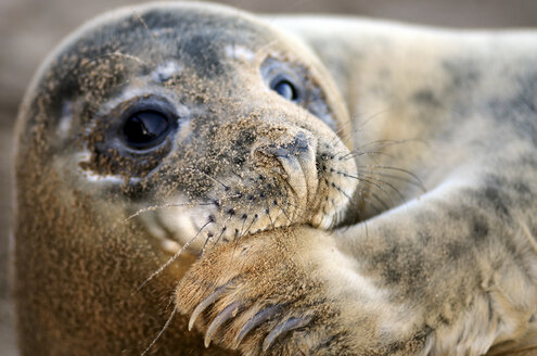 Portrait of Grey seal, Halichoerus grypus, with sandy snout - MJOF000890
