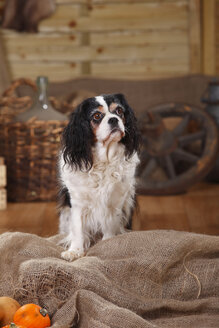 Cavalier King Charles Spaniel sitting on jute in front of peasant decoration - HTF000536