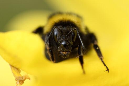 Portrait of bumblebee, Bombus, on yellow blossom - MJOF000892