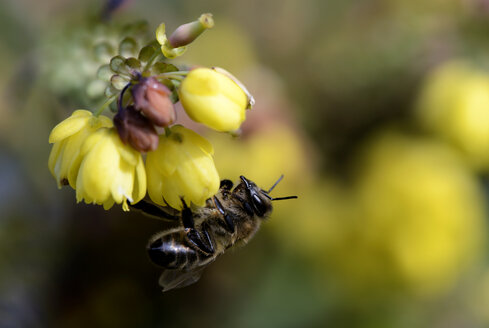 Honey bee, Apis, hanging at blossom - MJOF000898