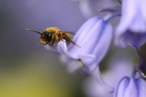 Solitary bee, Andrena, on purple blossom - MJOF000900