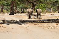 Africa, Namibia, Kaokoland, family of three African elephants, Loxodonta africana, at Hoanib River in the Namib Desert - ESF001480