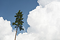 Germany, Baden-Wuerttemberg, Pine and clouds - SHF001686