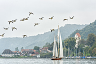 Germany, Baden-Wuerttemberg, Lake Constance, sailing boat and flying birds near Bodman - SH001731