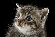 Portrait of tabby kitten, Felis Silvestris Catus, with blue eyes - MJOF000910