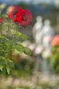 Germany, Baden-Wuerttemberg, Island Mainau, double exposure of red rose in Italian Rose Garden - SHF001797