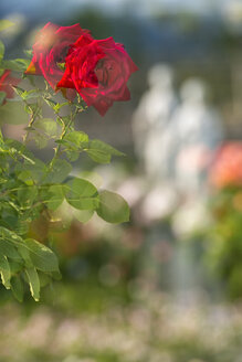 Germany, Baden-Wuerttemberg, Island Mainau, double exposure of red rose in Italian Rose Garden - SHF001797