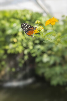 Germany, Baden-Wuerttemberg, Island Mainau, butterfly in butterfly house - SHF001802