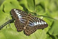 Germany, Baden-Wuerttemberg, Island Mainau, butterfly in butterfly house - SHF001803