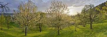 Germany, Baden-Wuerttemberg, Lake Constance, Sipplingen, blooming trees at sunset - SHF001805