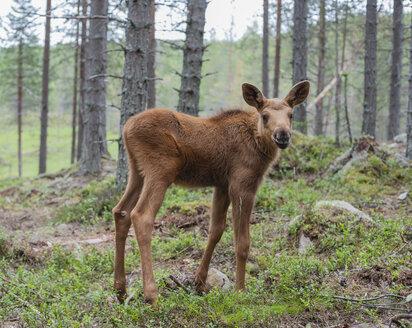 Sweden, Dalarna, juvenile elk in forest - JBF000152