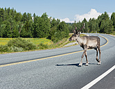 Finland, Lapland, road to Rovaniemi, reindeer crossing the street - JBF000180
