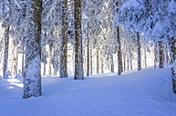 Germany, Baden-Wuerttemberg, Black Forest, snow-covered forest - PUF000331