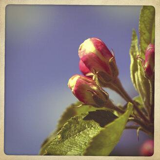 Cherry Blossom - HOHF001200