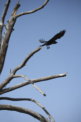 USA, Wyoming, Grand Teton National Park, tree and flying raven - NNF000125