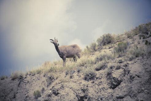 USA, Wyoming, Yellowstone National Park, Ibex, Capra ibex - NNF000129