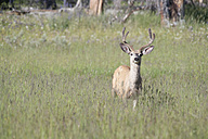 USA, Wyoming, Yellowstone National Park, Roe deer - NNF000138