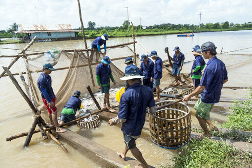 Vietnam, An Giang, Long Xuyen, workers loading shark catfish at fish farm - WE000280