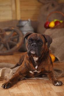 Portrait of Boxer lying on wooden floor - HTF000562
