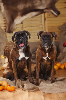 Portrait of two Boxers sitting on jute in between autumnal decoration - HTF000565