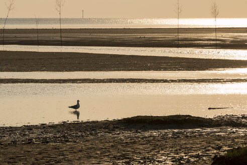 Germany, Lower Saxony, Wremen, seagull in mudflat - SJF000130