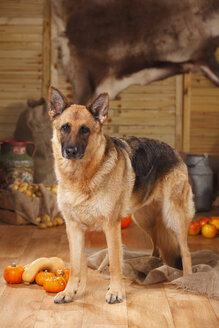 German Shepherd standing in an autumnal decorated barn - HTF000570
