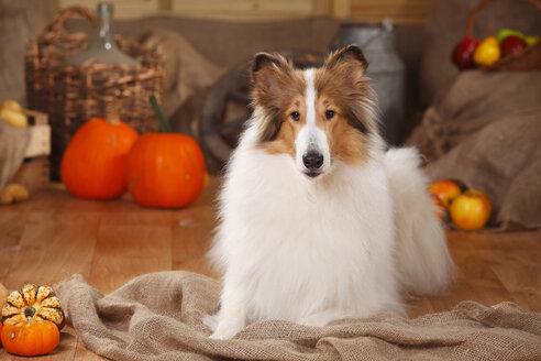 American Collie lying in an autumnal decorated barn - HTF000572