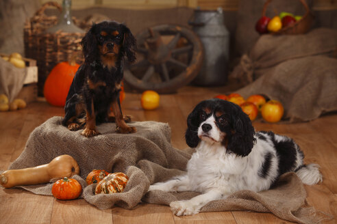 Two Cavalier King Charles Spaniels in an autumnal decorated barn - HTF000558