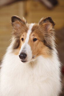 Portrait of American Collie - HTF000554