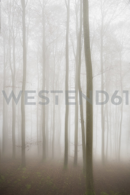 Germany, beech trees in the fog - EL001413