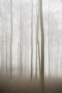 Germany, beech trees in the fog - EL001413
