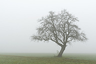 Germany, view to bared old fruit tree in the fog - EL001415